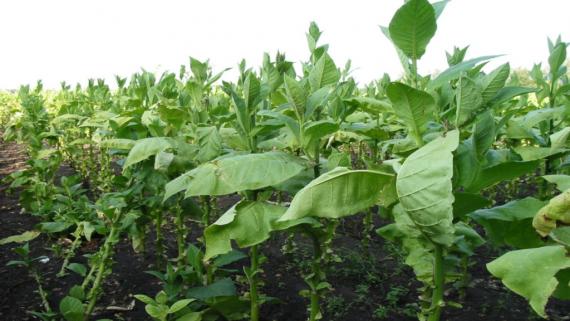 gdzie uprawia się tytoń