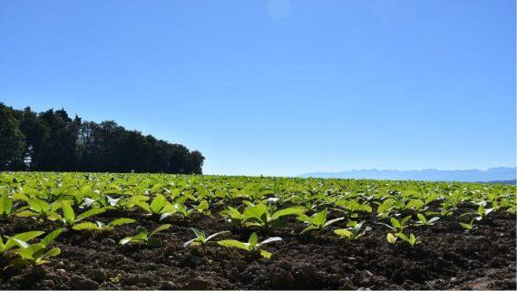 Uprawa tytoniu w pole, rodzaje i właściwości