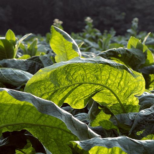 od ziela do papierosa