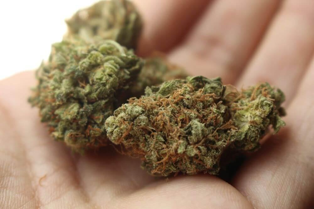 Kwiaty marihuany w dłoni, czy jaranie zioła jest niezdrowe