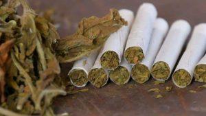 Zielone liście suszonego tytoniu i skręcone papierosy