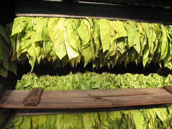 zielone suszone liście tytoniu